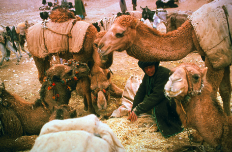 Camels at Caravanasi