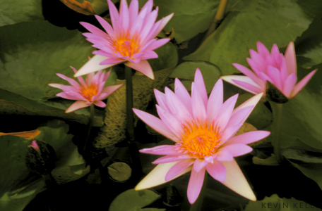 Order A Print Of Lotus By Kevin Kelly From Asia Grace