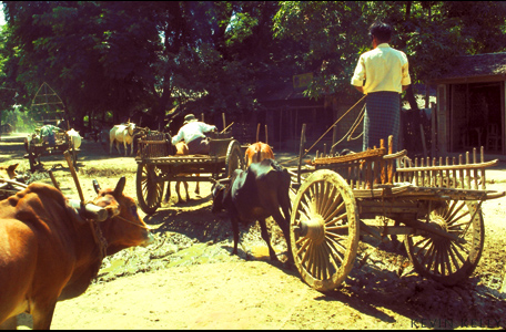 Ox carts, Pagan