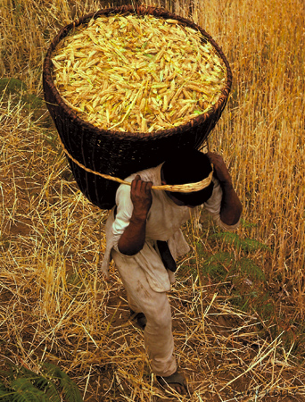 Barley harvest - Kevin Kelly - Asia Grace