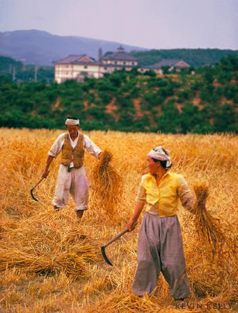 Barley harvesters
