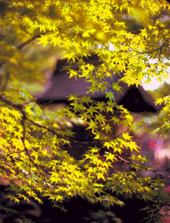 Maples, spring, temple